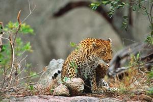 luipaarden foto