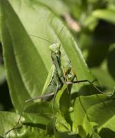 prooi bidsprinkhanen in de groene natuur foto