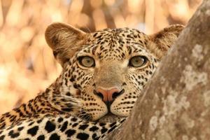 luipaard, Tanzania foto
