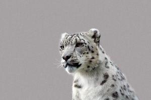 sneeuwluipaard foto