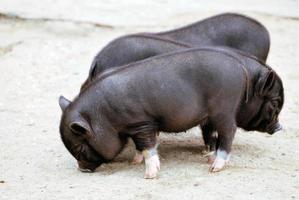 varkens foto