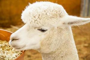 het hoofd van witte huacaya alpaca in een stabiel etend graan foto