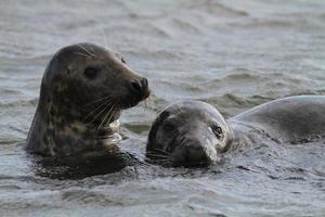 gewone zeehonden in norfolk foto