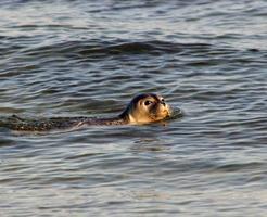 junger wildlebender süß schauender seehund im meer von helgoland düne foto