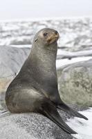 jonge zeebeer rusten op een rotsachtige foto
