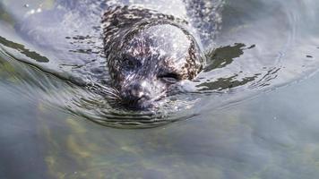 gewone zeehond knipogen foto