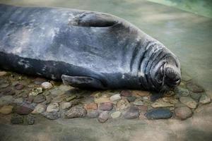 slapende walrus foto