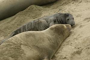 zeeolifanten foto