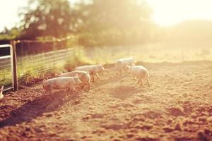 varkens die rondrennen in een box bij zonsondergang foto