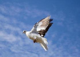 duif in de lucht foto