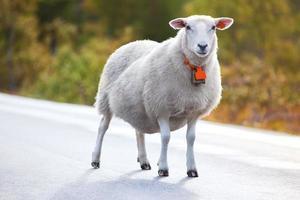 schapen lopen op de weg foto