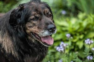 grote zwarte hond rust buiten. veiligheid schildwacht Kaukasische herdershond. foto