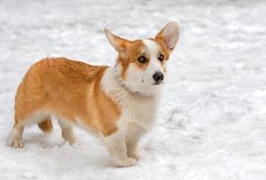 cardigan welsh corgi en sneeuw. foto