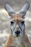 rode kangoeroe foto