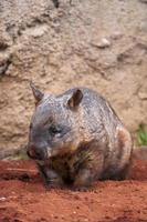 harige neus wombat foto