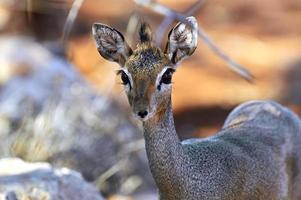 gazelle foto