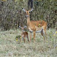 gazelle impala foto