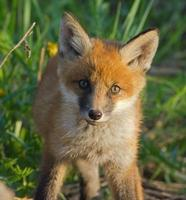 Red Fox Cub foto
