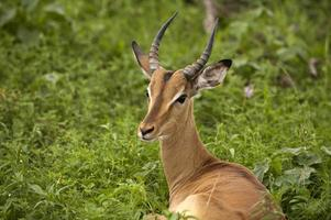 jonge mannelijke impala foto
