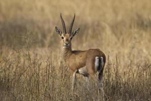 indische gazelle, chinkara, gazella bennettii foto