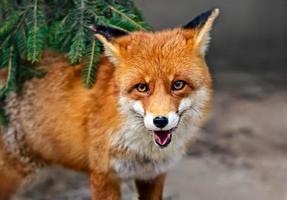 vos portret in natuurlijke habitat foto