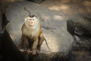 makaak met een varkensstaart foto