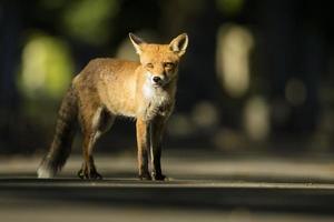 stedelijke rode vos - vulpes vulpes foto