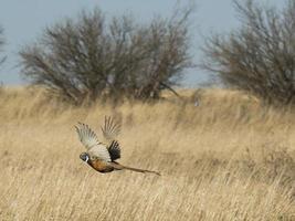 vliegende fazant foto
