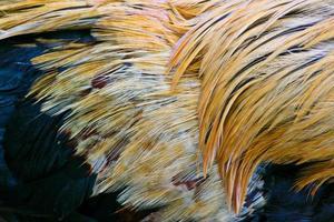 gedetailleerde textuur van gele, witte en blauwe vechtende haanveer foto