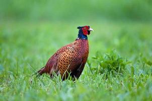 gewone fazant foto