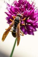 drumstick allium bloem bloeien en wesp foto