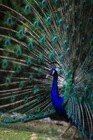 pauw waaier zijn staart om vrouw aan te trekken foto