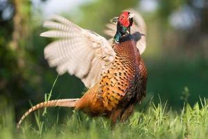 gewone fazant tijdens de paringsperiode foto