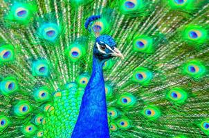 pauw (pavo cristatus) foto