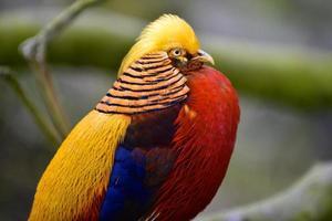 gouden fazant foto