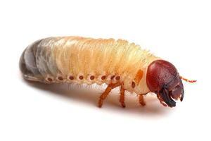 larve van kever op wit wordt geïsoleerd foto