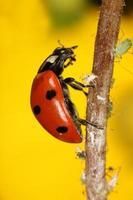 lieveheersbeestje en bladluizen foto