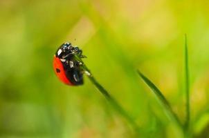 lieveheersbeestje. foto