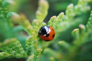 rood lieveheersbeestje dier op een boom