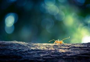 oranje mieren foto