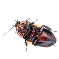 koplamp kakkerlak (lucihormetica sp. venezuela) foto