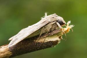Braziliaanse motvlinder foto