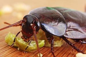 grote bruine kakkerlak foto