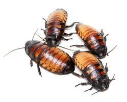 vier kakkerlakken uit Madagaskar