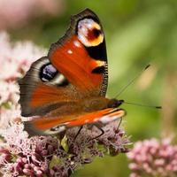 pauw vlinder