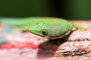 nieuwsgierige gekko foto