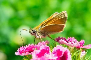 gele vlinder op rode bloem foto