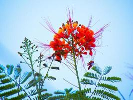 pauwbloem - caesalpinia pulcherrima in okinawa, japan foto