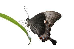 smaragd pauw zwaluwstaartvlinder foto