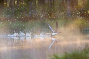roodkeelduiker beginnend op het water foto